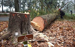 SPOKESMAN PHOTOS: VERN UYETAKE - Workers began removing some of the trees at the Grove of the States Friday morning, Nov. 11, preparing the sight for future restoration projects in February 2017.