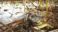 FILE PHOTO - The Oregon Spotted Frog caused a lot of water use controversy in 2016.