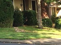 ELIZA GREENWOOD VIA PORTLAND URBAN COYOTE PROJECT - A coyote relaxing in a Portland-area yard. The animal has been a longtime headache to Southwest Portland residents, who wonder if its becoming more of a danger than an annoyance.