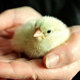 COURTESY PHOTO - Locals will have a chance to get free little chicks like this one at the Cornelius Coastal Saturday.