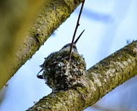 CONTRIBUTED PHOTO: CYNTHIA ETTER - A female Anna's hummingbird's peak juts out over her nest on Southwest Hensley Road in Troutdale. Unlike some migatory hummingbirds, Anna's live in the same spot all year round.