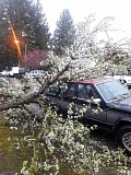 COURTESY PHOTO: DANI BAUER - A beautiful blossoming tree fell down on a car on 21st Avenue during Friday's wind storm.